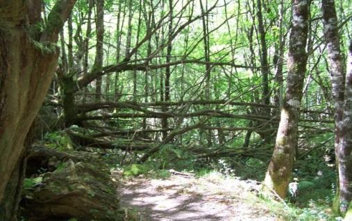 Árboles buscando la luz en la umbría de la senda a la Seimeira