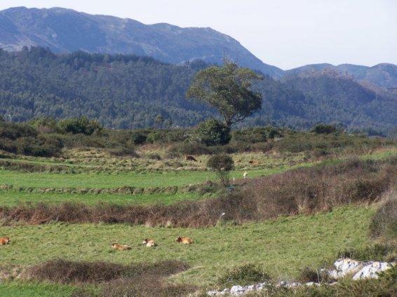 Vacas pastando mansamente en los prados alrededor de Gulpiyuri