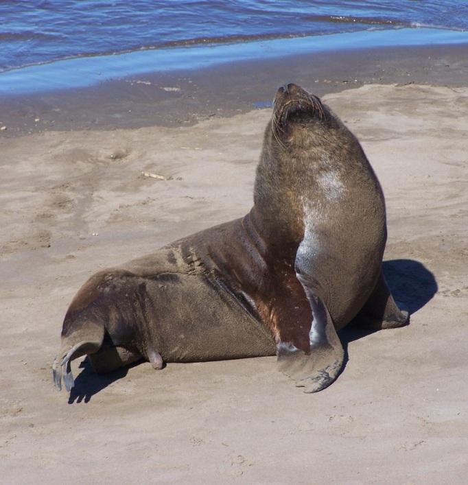 Lobo marino tomando el sol en el arenal de la Escollera Sur