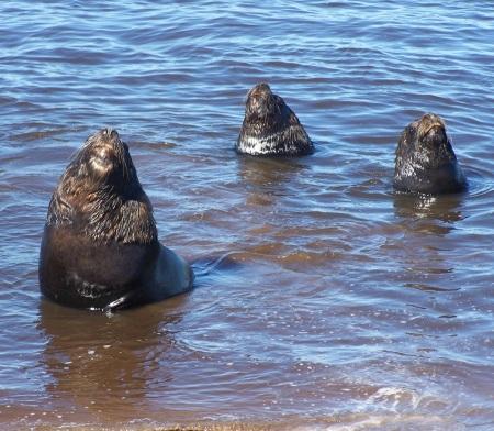 Lobos marinos al sol necochense