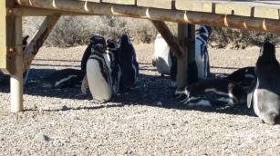 Pingüinos a la sombra de las pasarelas de turistas en Punta Tombo